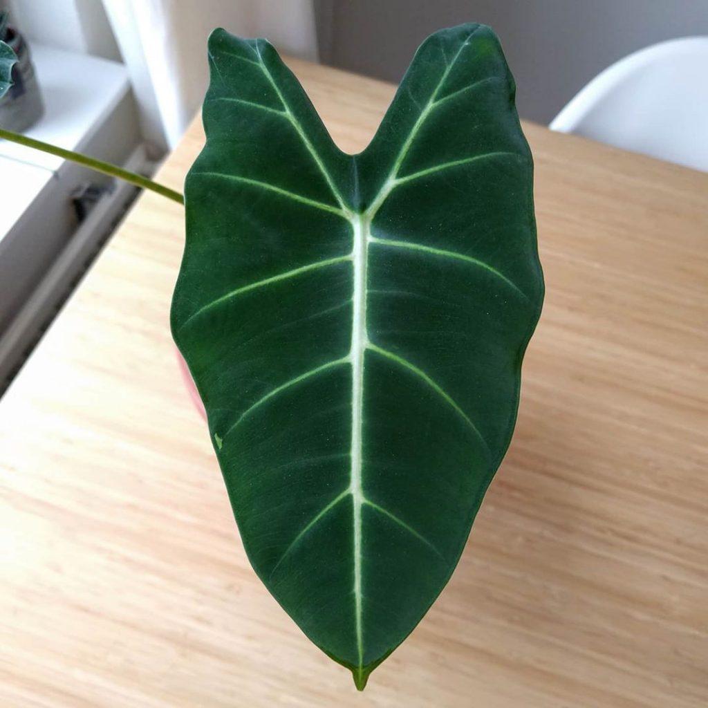 alocasia micholitziana frydek leaf