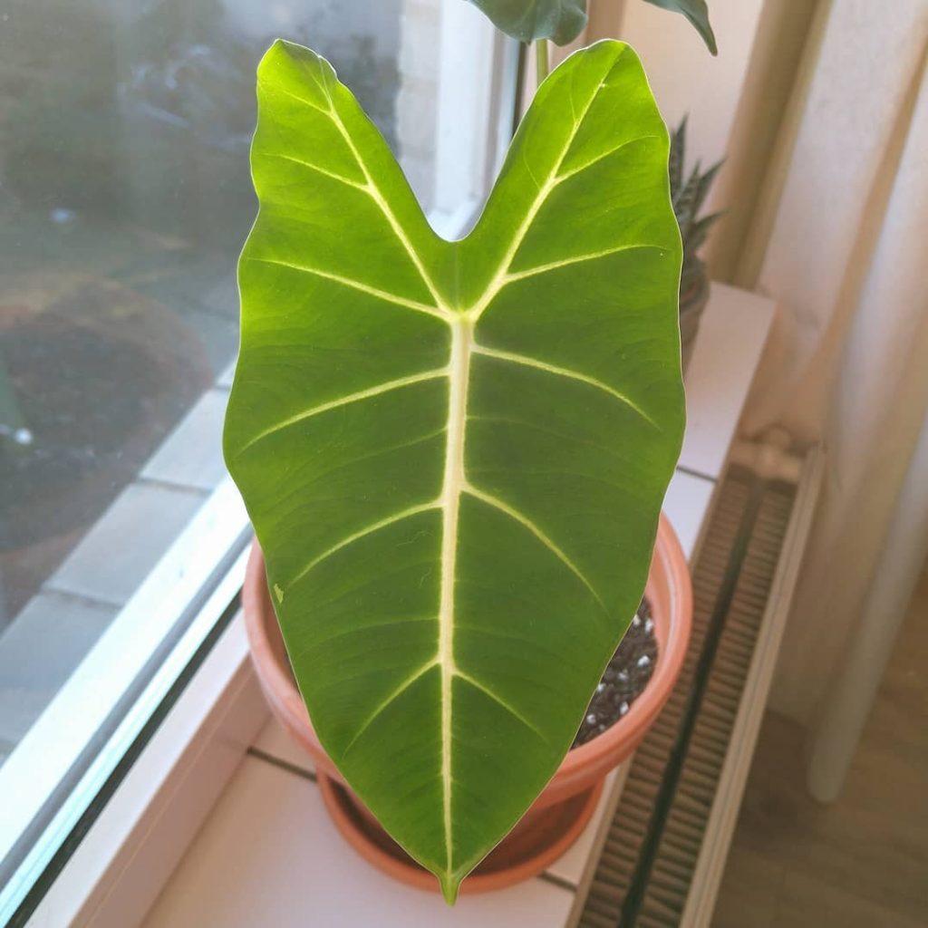 alocasia micholitziana new leaf