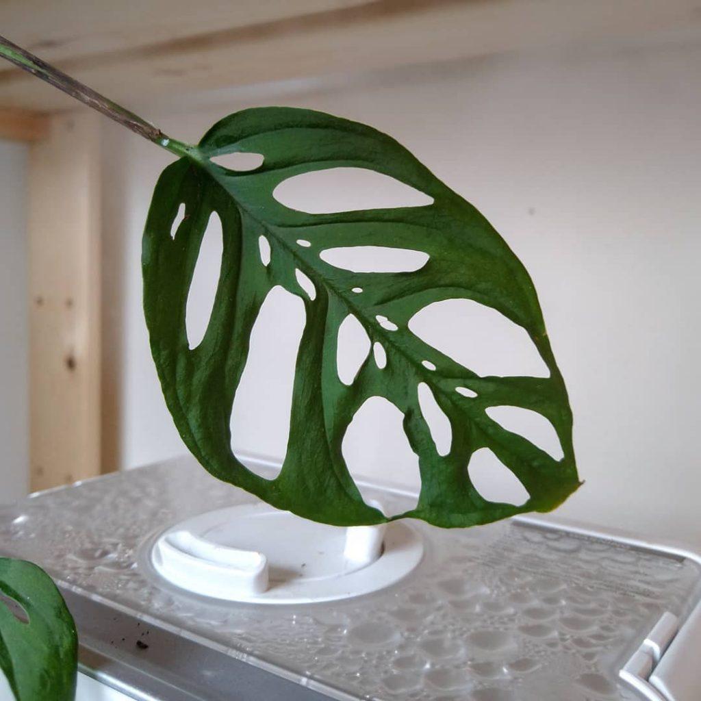 monstera adansonii leaf