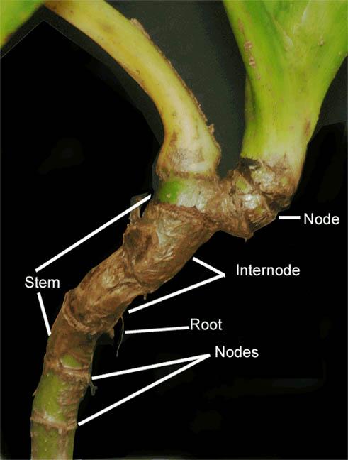 monstera plant parts names