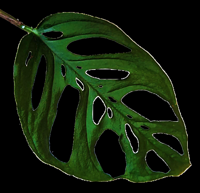 Plantengekkie